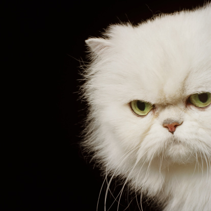 Animal Whisker「White Persian cat looking annoyed, close-up, portrait」:スマホ壁紙(6)