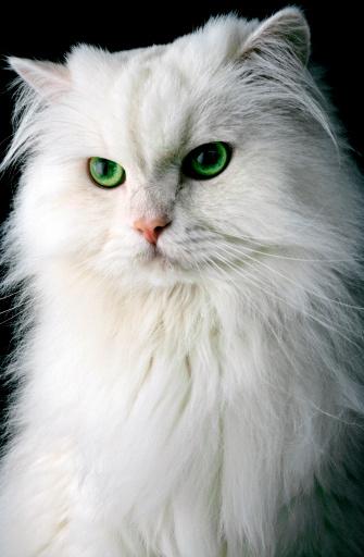 ペルシャネコ「White Persian cat」:スマホ壁紙(16)