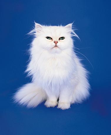 ペルシャネコ「White Persian Cat」:スマホ壁紙(18)