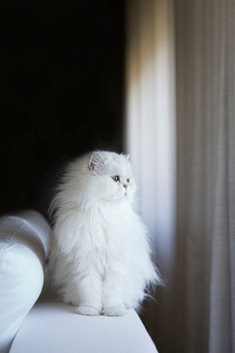 Purebred Cat「White persian cat」:スマホ壁紙(19)
