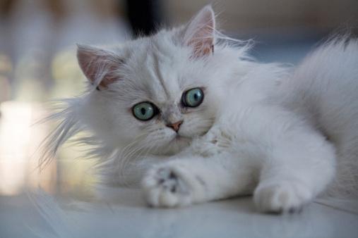 ペルシャネコ「White Persian cat」:スマホ壁紙(19)