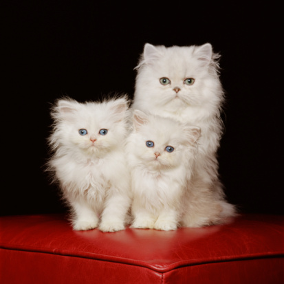 Animal Whisker「White Persian cat with two kittens on red ottoman footstool, portrait」:スマホ壁紙(0)