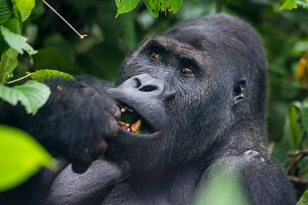 Feeding Silverback Gorilla, wildlife shot, Congo:スマホ壁紙(壁紙.com)