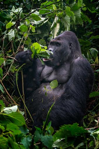 コンゴ民主共和国「フィーディングシルバーバックゴリラ、野生生物の写真、コンゴ」:スマホ壁紙(6)