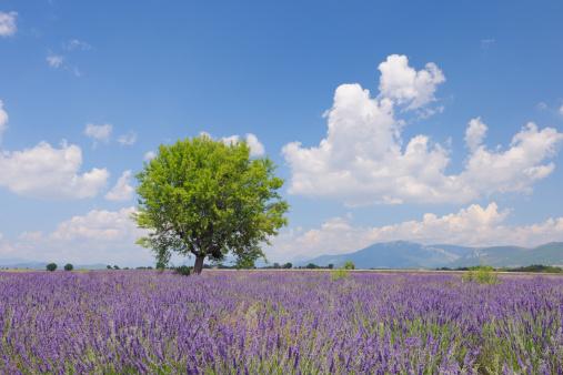 花畑「France, Mediterranean Area, Plateau De Valensole, Valensole, View of lavender field with tree」:スマホ壁紙(12)