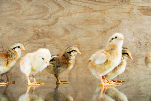 City Of Los Angeles「Group of baby chickens/chicks」:スマホ壁紙(17)