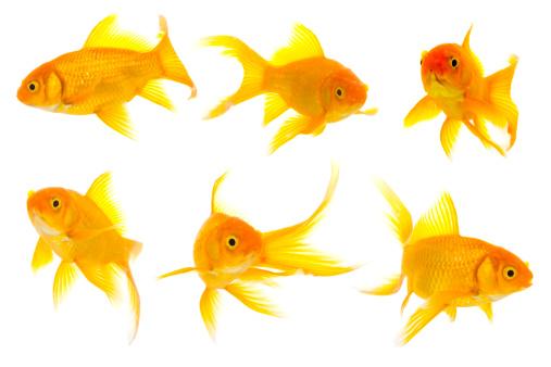 金魚「Group of baby 顔金魚」:スマホ壁紙(6)