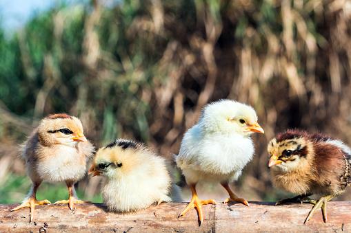 Emitting「Group of baby chicken」:スマホ壁紙(15)