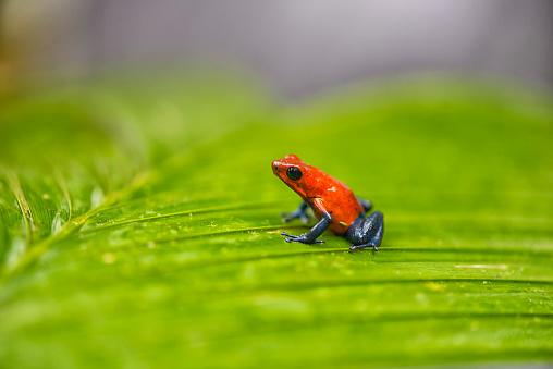 Central America「Blue jeans frog」:スマホ壁紙(18)