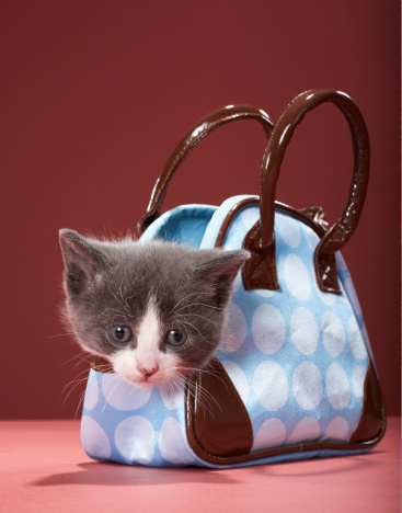 Kitten「Kitten in handbag」:スマホ壁紙(8)