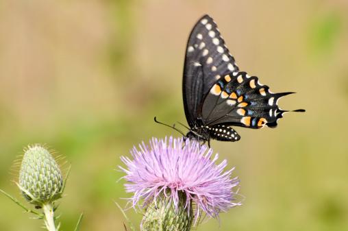 シリーズ画像「Eastern black swallowtail butterfly」:スマホ壁紙(13)