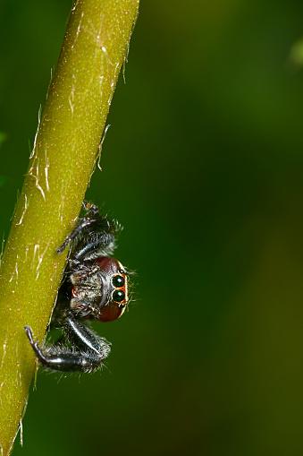Eyesight「A Jumping spider clinging to a plant stem.  Macro (close-up) full colour horizontal image. Thanda Game Reserve, Kwazulu-Natal, South Africa」:スマホ壁紙(4)