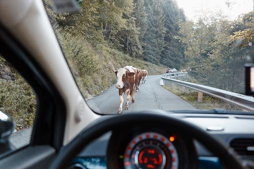 Hohe Tauern Range「Austria, East Tyrol, Hohe Tauern National Park, cows on mountain road」:スマホ壁紙(9)