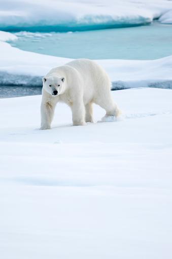 Pack Ice「Bears portrait, Ursus Maritimus, Spitzbergen, Svalbard」:スマホ壁紙(13)