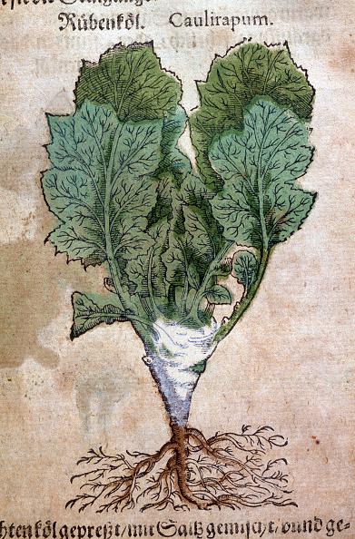 Brassica rapa「Cabbage-Turnip」:写真・画像(2)[壁紙.com]