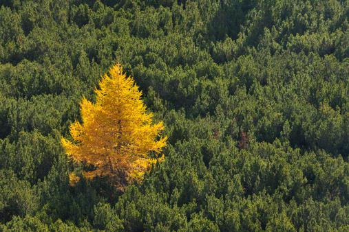 Larch Tree「Larch tree in mountain」:スマホ壁紙(11)