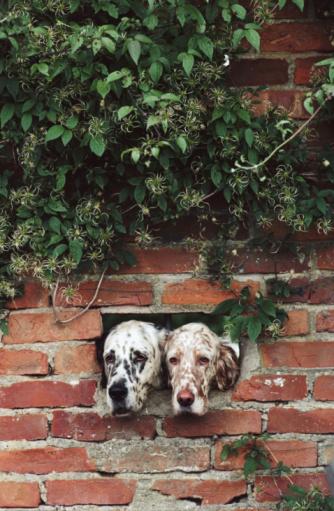 Peephole「English Setter Dogs, Suffolk, UK」:スマホ壁紙(10)