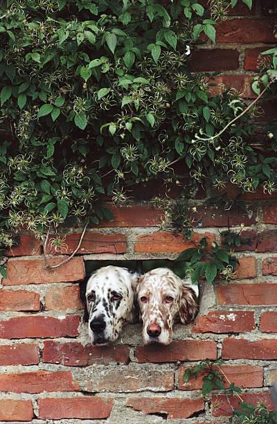 English Setter Dogs, Suffolk, UK:スマホ壁紙(壁紙.com)