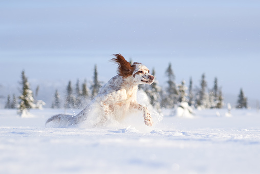 Sports Training「English Setter running in deep snow, Oppland County Norway」:スマホ壁紙(4)