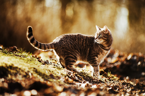 Mixed-Breed Cat「Cat Walking Outside」:スマホ壁紙(3)
