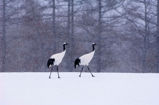 野生動物「Japanese Red Crowned Cranes walking in snow, Kushiro, Japan」:スマホ壁紙(18)