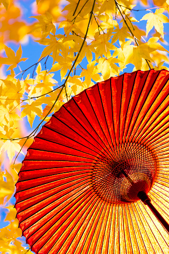 Japanese Maple「Japanese Red Umbrella And Japanese Maple leaves in Autumn」:スマホ壁紙(5)