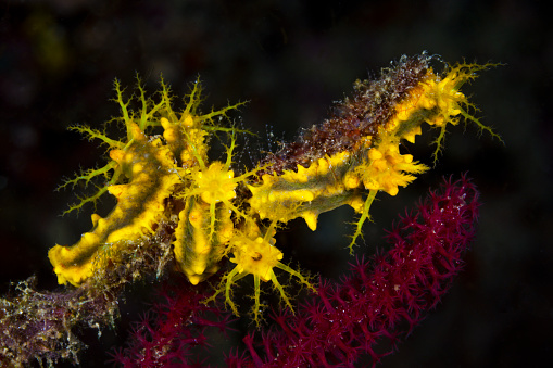 Arafura Sea「Yellow Sea Cucumbers, Indonesia」:スマホ壁紙(14)