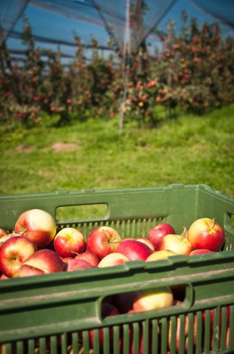 Thurgau「harvest on apple plantation in Thurgau, Switzerland」:スマホ壁紙(15)