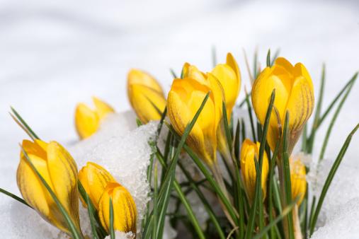 Crocus「Spring is coming」:スマホ壁紙(17)