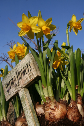 Dayflower「Spring is coming!! narcissus bulb Springflowers」:スマホ壁紙(12)
