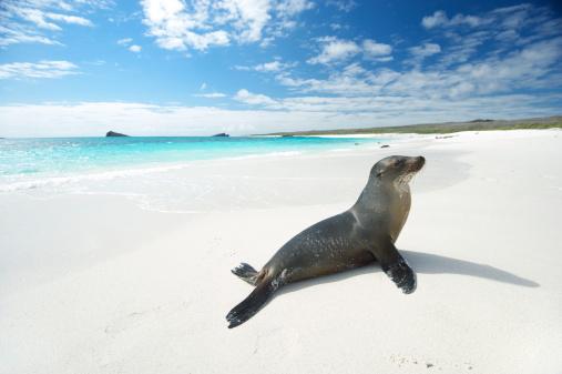 ガラパゴス諸島「アシカサンズ自身で明るいホワイトのビーチ」:スマホ壁紙(9)