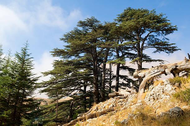 Cedar forest in Lebanon near Bcharre:スマホ壁紙(壁紙.com)
