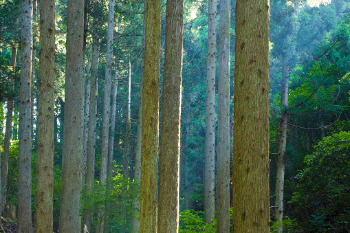 マツ科「Cedar forest, Otsu, Shiga Prefecture, Japan」:スマホ壁紙(10)