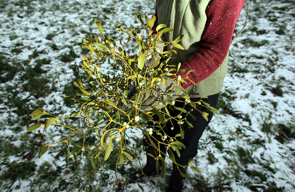 宿り木「Mistletoe Farmers Prepare For The Christmas Rush」:写真・画像(16)[壁紙.com]