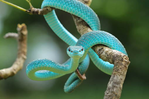 Animal Wildlife「Blue viper snake on a branch, Indonesia」:スマホ壁紙(14)