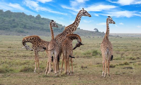 Giraffe「Giraffe family」:スマホ壁紙(17)