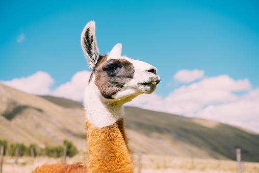 Tame「Peru, Huaraz, portrait of a llama」:スマホ壁紙(8)