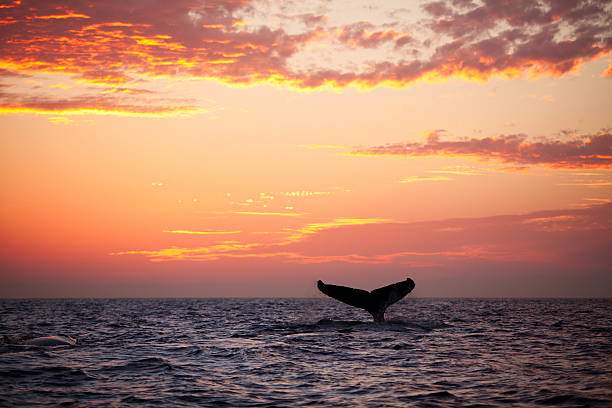 Tail fin from diving humpback whale at sunset:スマホ壁紙(壁紙.com)