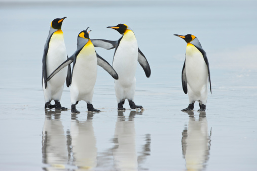 Falkland Islands「Group of King Penguins (Aptenodytes patagonicus) on beach, Falkland Islands, South Atlantic Ocean」:スマホ壁紙(15)