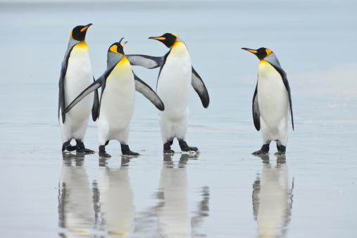 Falkland Islands「Group of King Penguins (Aptenodytes patagonicus) on beach, Falkland Islands, South Atlantic Ocean」:スマホ壁紙(14)