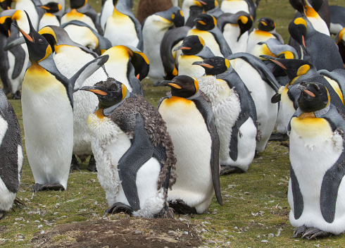 Falkland Islands「A Group of King Penguins in a Colony at Volunteer Point」:スマホ壁紙(5)