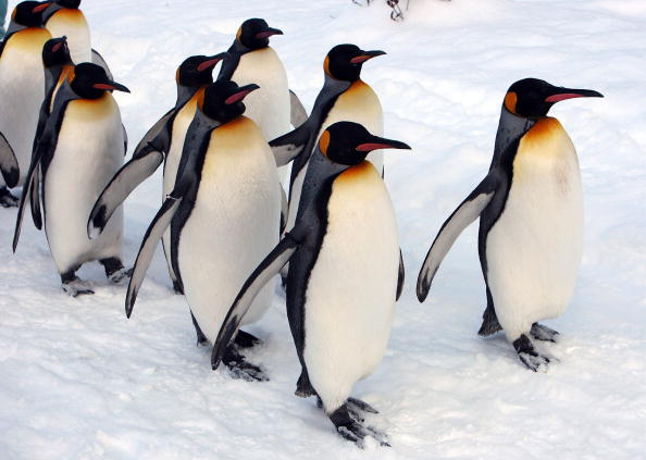 Snow「Up Close Viewing Of Animals Attracts Visitors To Asahiyama Zoo」:写真・画像(15)[壁紙.com]