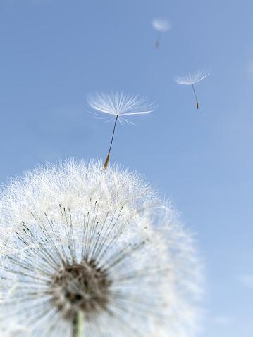 タンポポ「seeds blowing from dandelion」:スマホ壁紙(14)