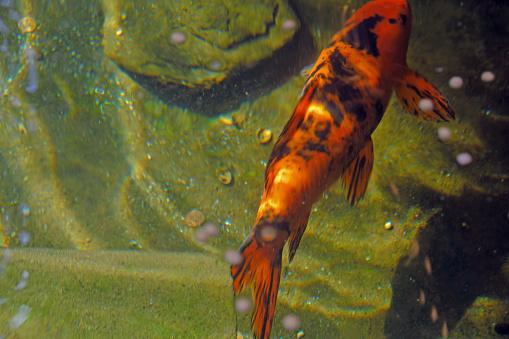 Carp「Koi fish carp swimming in water garden」:スマホ壁紙(11)
