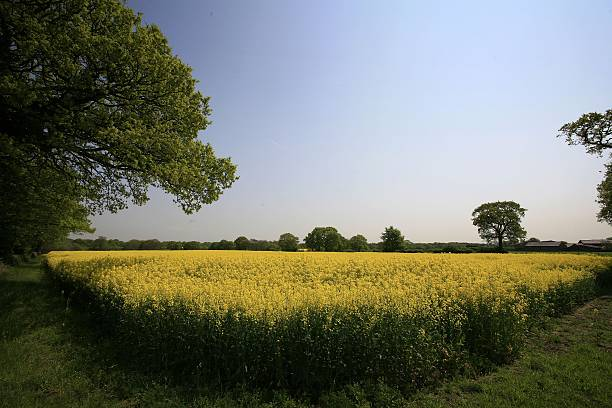 Oilseed Rape Increases In Popularity As Fuel Source:ニュース(壁紙.com)