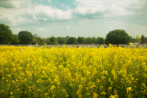 Satoyama - Scenery「Field of rape in park」:スマホ壁紙(2)