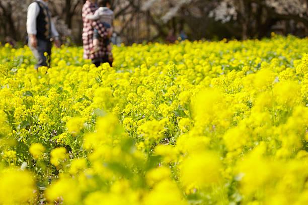Field of rapeseed blossom:スマホ壁紙(壁紙.com)