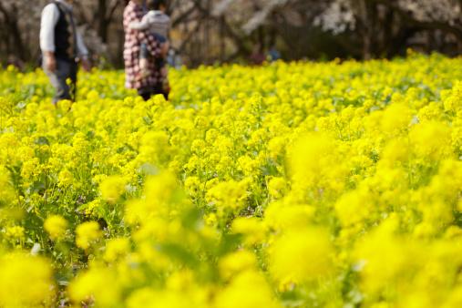 アブラナ「Field of rapeseed blossom」:スマホ壁紙(18)