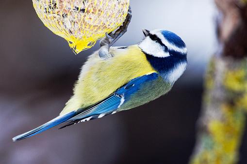 Frost「Blue Tit (Parus caeruleus) at a bird feeder in wintertime - Bavaria / Germany」:スマホ壁紙(3)