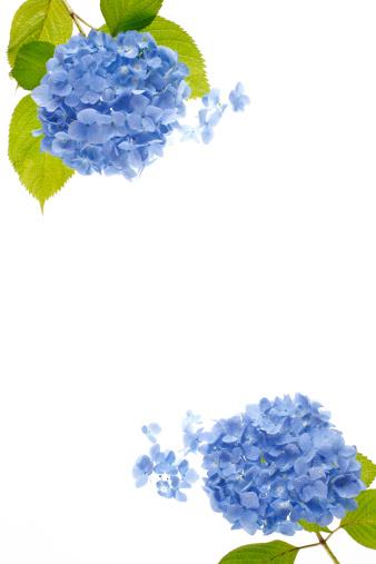あじさい「Two Hydrangeas」:スマホ壁紙(14)